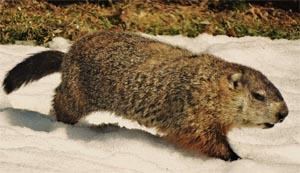 groundhog roaring brook nature center